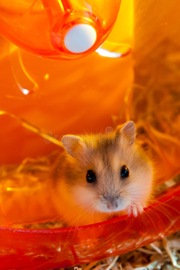 Hamster waiting in a running wheel stock photo