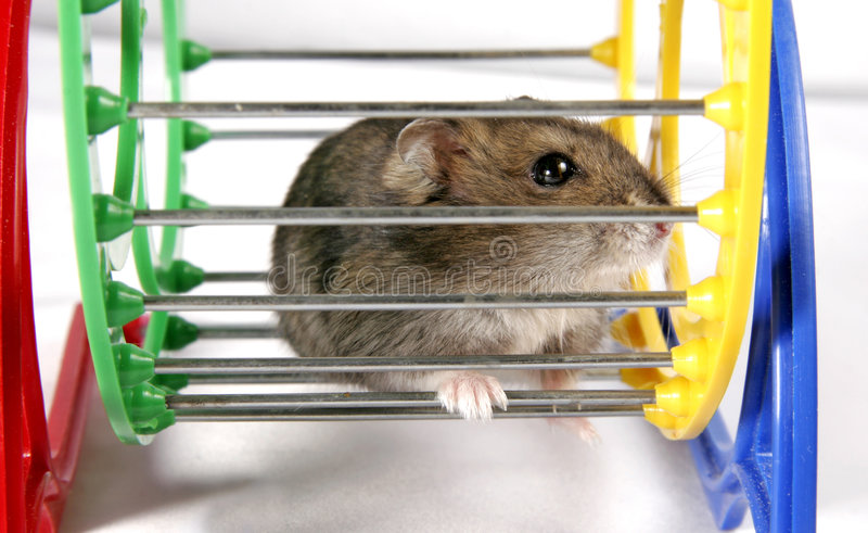 Hamster in wheel royalty free stock images