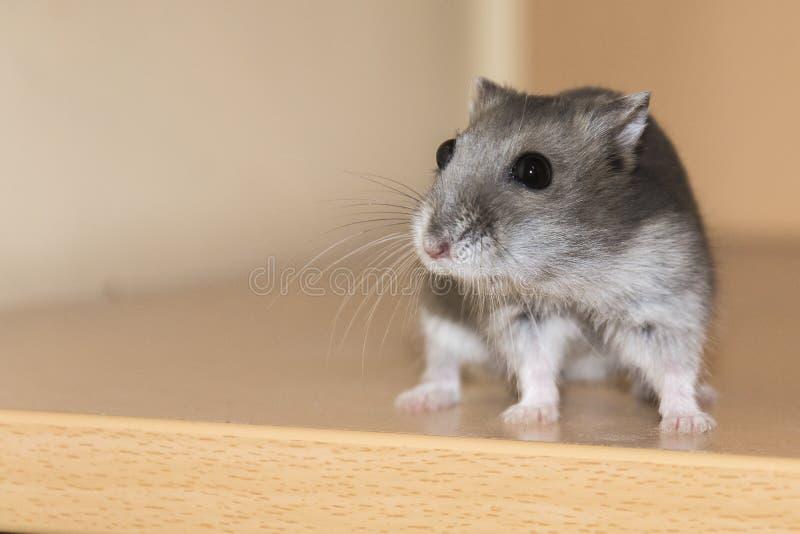 Hamster Whit Long Mustache fotografia de stock royalty free