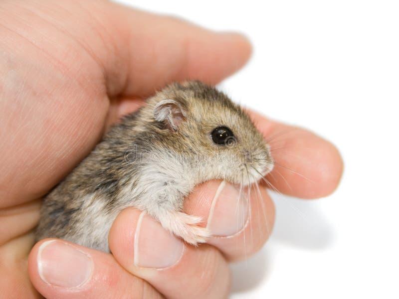hamsteren gömma i handflatan royaltyfri foto