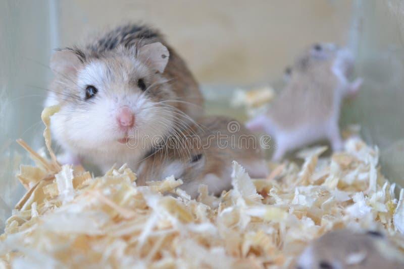 Hamsterfamilie stockbilder
