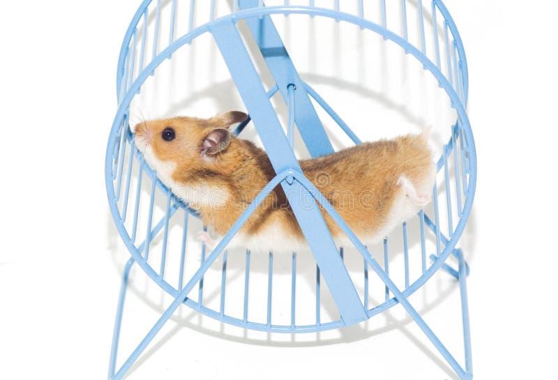 hamsterhjul arkivfoton