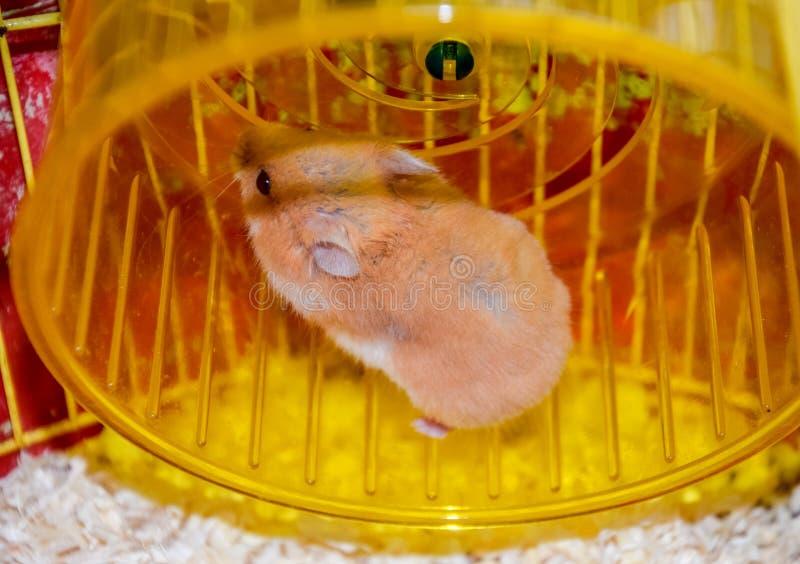 Hamsterhuis in het houden in gevangenschap Het Lopende Wiel van de hamster Rode hamster royalty-vrije stock fotografie