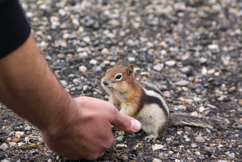 Hamsterkind royaltyfri bild