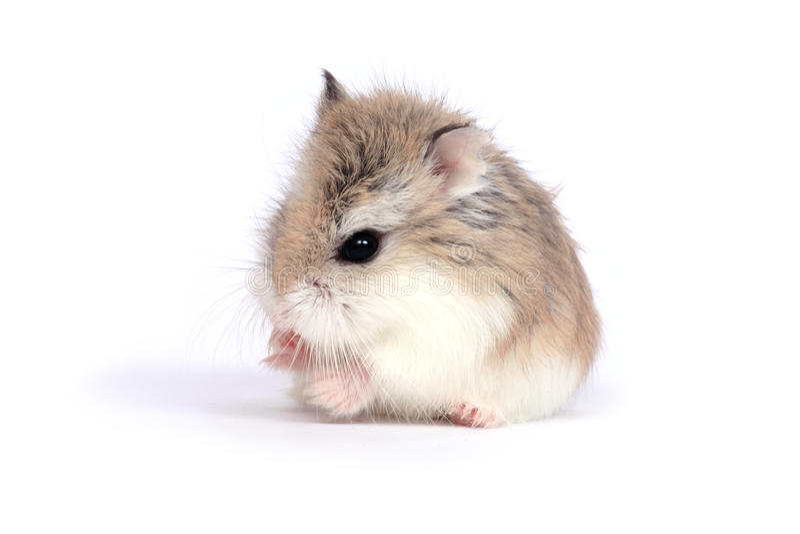 hamsterroborovski arkivfoto