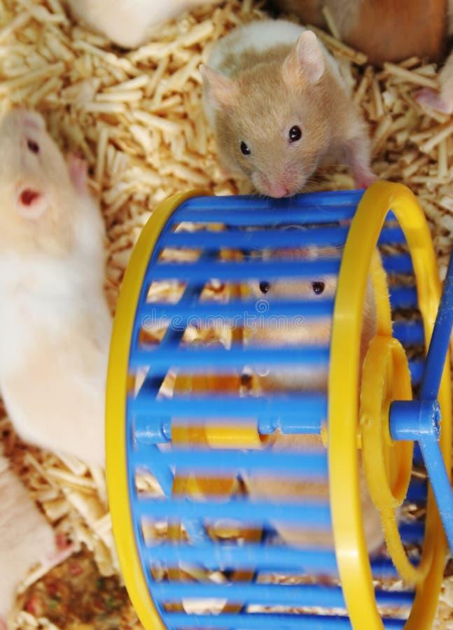 hamsters arkivbilder