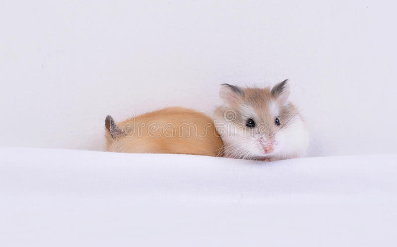 hamsters images libres de droits