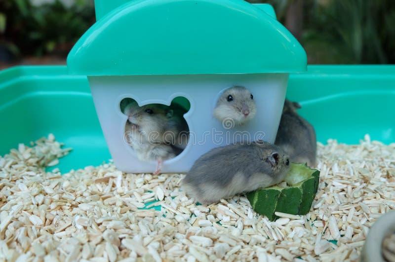 Hamsters de blanc d'hiver de bébé photos stock