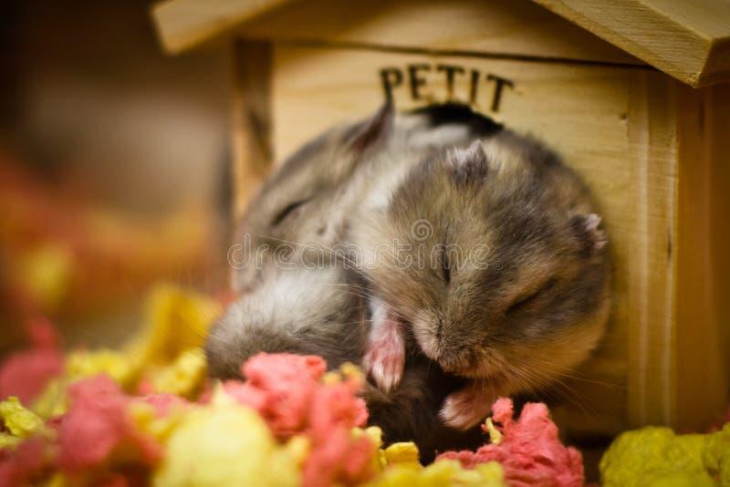Hamsters de caresse dormant ensemble photos stock