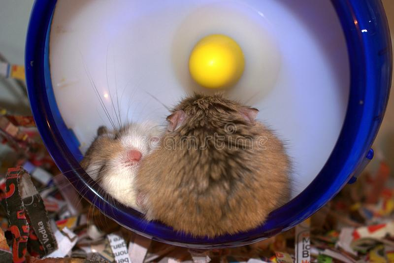 Hamsters de caresse images stock