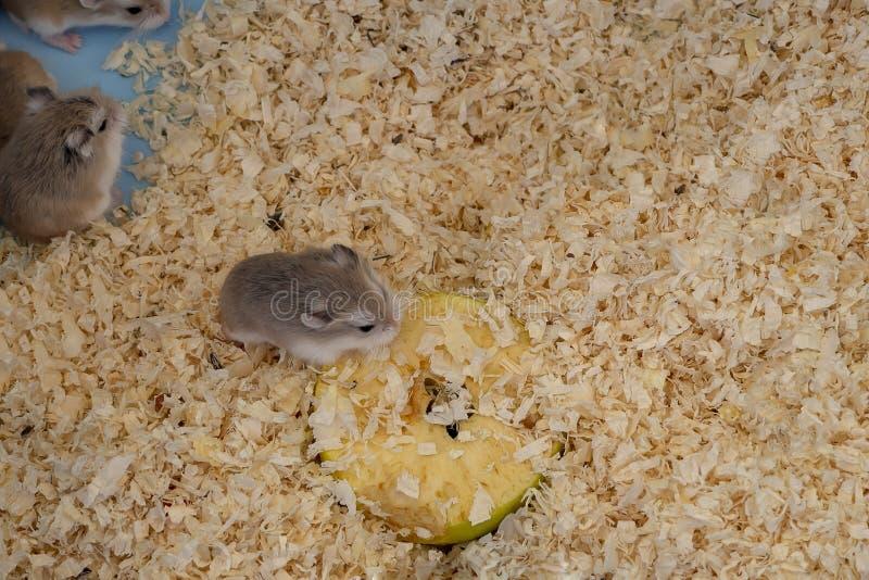 Hamsters minuscules de nain de Roborovski à vendre comme animaux familiers sur le marché en plein air, une pomme de consommation  images stock