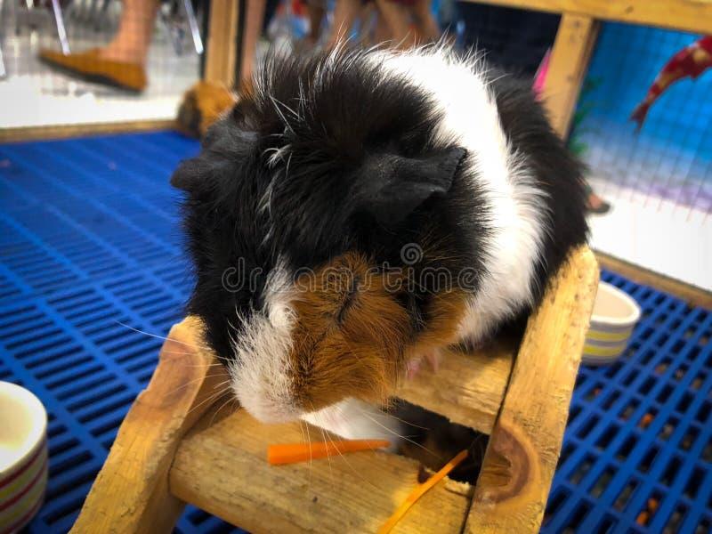 Hamsters Teddy Bear Hamster image libre de droits