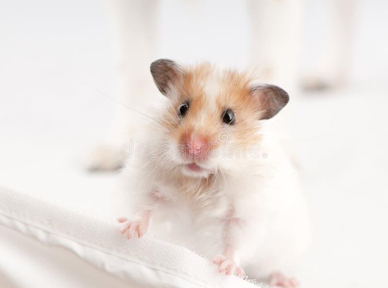 hamstersyrian royaltyfria foton