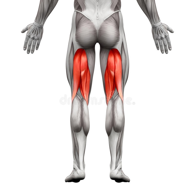 Hamstrings Male Muscles - Anatomy Muscle isolated on white - 3D vector illustration