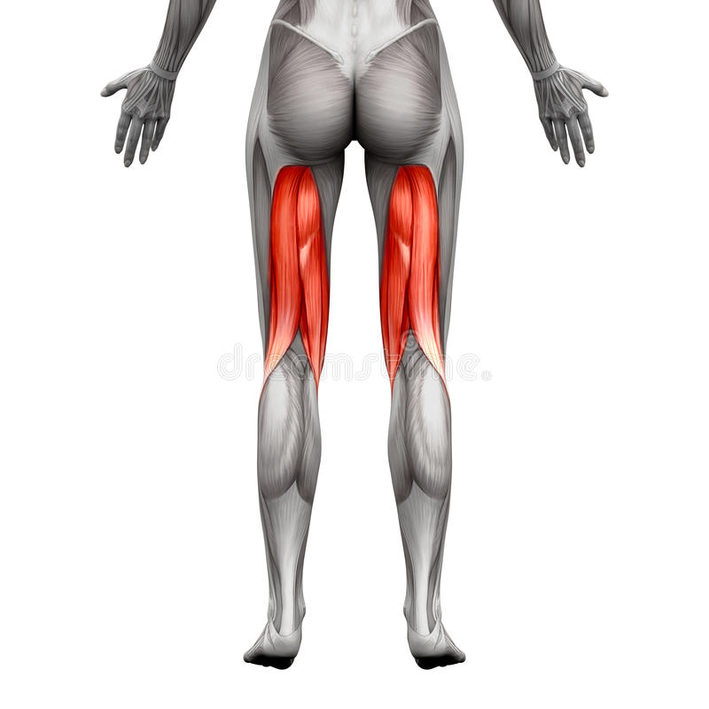 Hamstrings Muscles - Anatomy Muscle Isolated On White - 3D Illus ...
