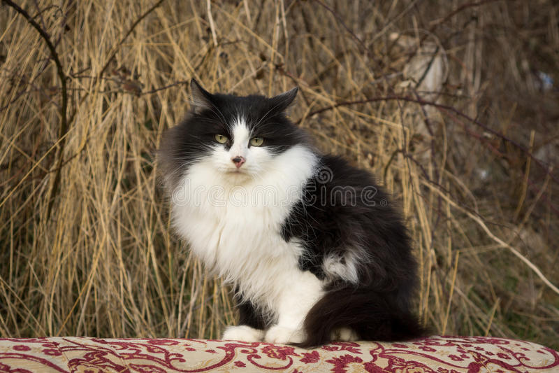 Han-katten royaltyfri foto
