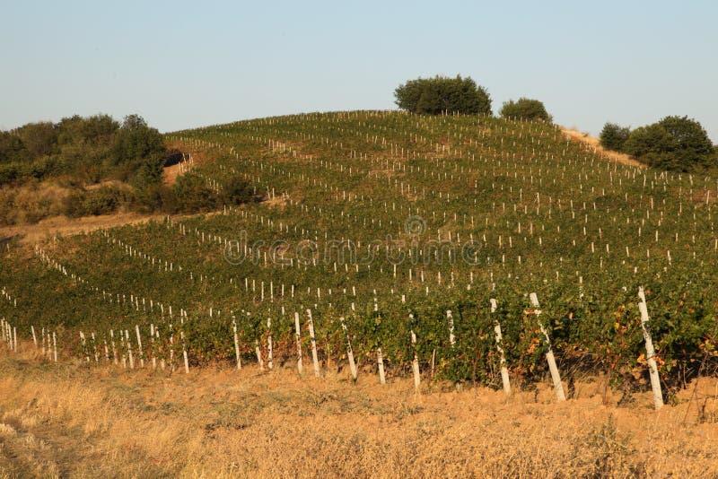 Han och vinodlingägaren var ut i en vingård royaltyfria foton