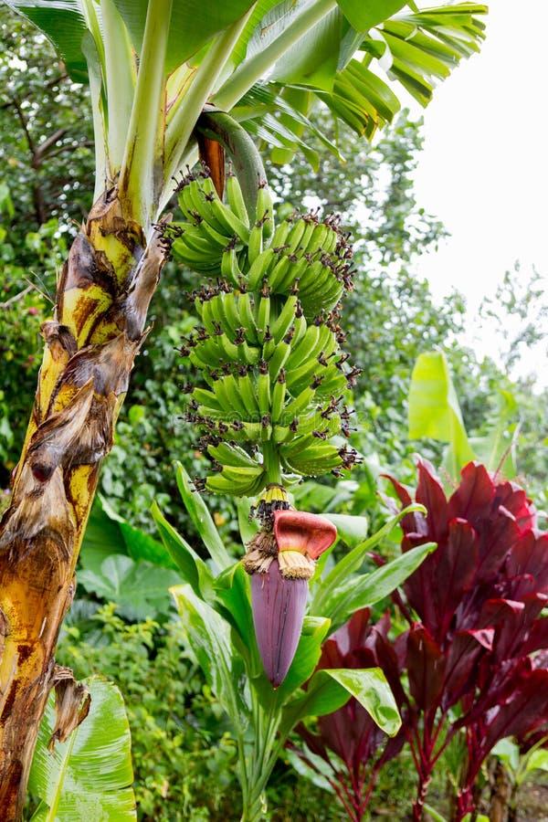 Bunch of bananas near Hana Highway, Maui, Hawaii. royalty free stock photography