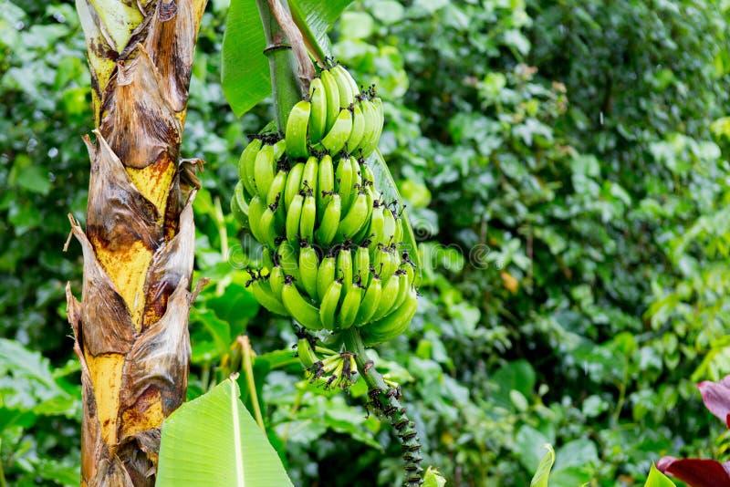 Bunch of bananas near Hana Highway, Maui, Hawaii. royalty free stock photos