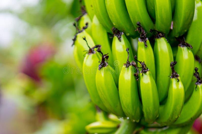 Bunch of bananas near Hana Highway, Maui, Hawaii. stock image