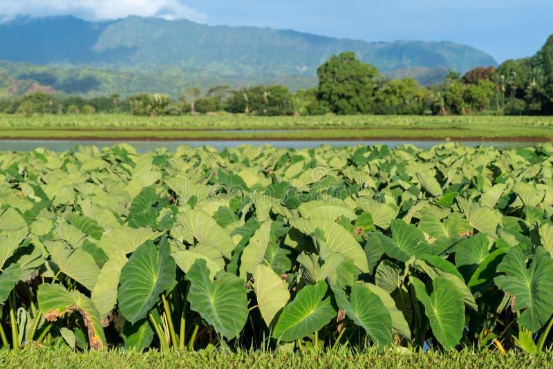 Hanalei谷的芋头植物在考艾岛 库存照片