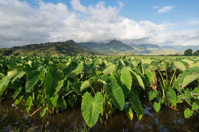Hanalei谷的芋头植物在考艾岛 库存图片