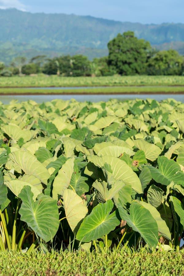 Hanalei谷的芋头植物在考艾岛 免版税库存图片