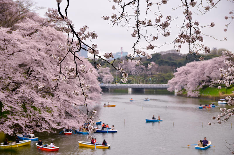 Hanami εξέτασης Sakura από τη λίμνη στοκ φωτογραφία με δικαίωμα ελεύθερης χρήσης