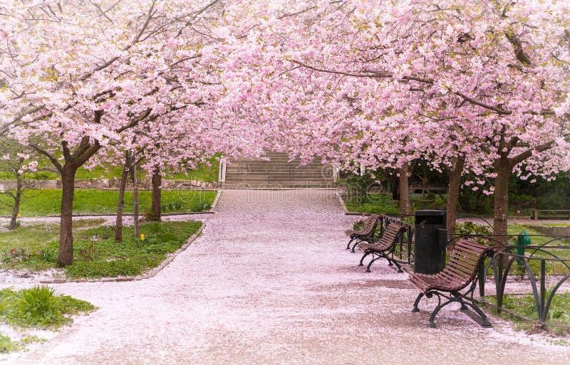 Hanami-Feier im kleinen Garten mit der Kirschbaumallee stockfoto