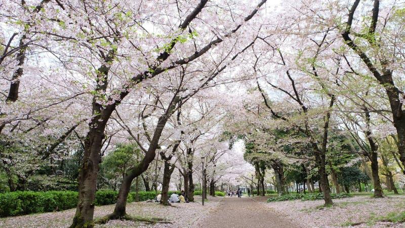 Hanami picknick med vännen som ser Sakura, körsbärsröd blomning, Japan i April royaltyfria foton