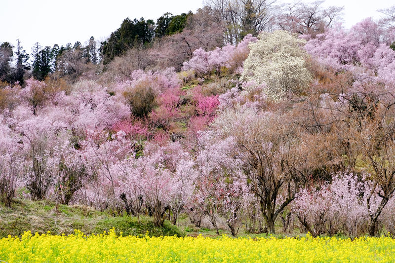 Yellow nanohana fields and flowering trees covering the hillside,Hanamiyama Park,Fukushima,Tohoku,Japan. royalty free stock image