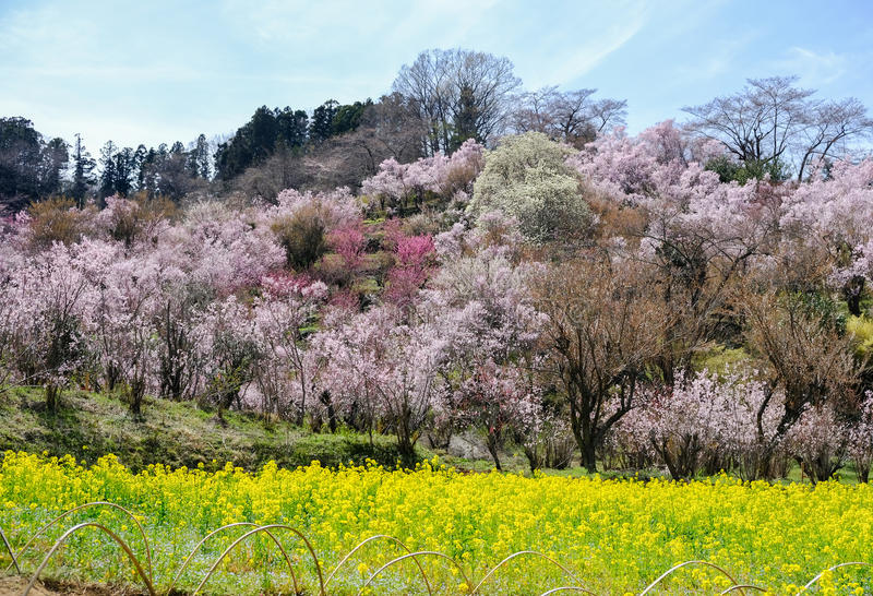 Yellow nanohana fields and flowering trees covering the hillside, Hanamiyama Park, Fukushima, Tohoku, Japan. royalty free stock photo