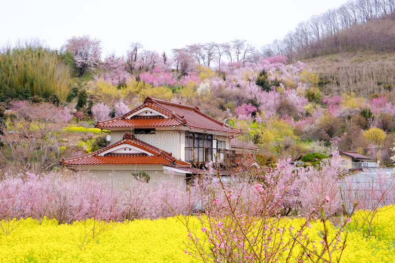 Yellow nanohana fields and flowering trees covering the hillside,Hanamiyama Park,Fukushima,Tohoku,Japan. stock image