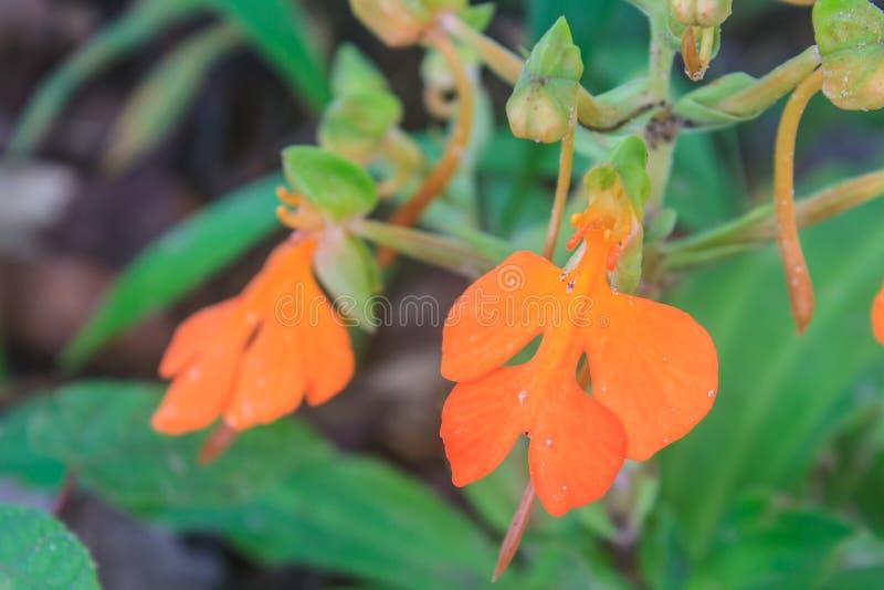 Hance del rhodocchelia de Habennaria de la selva tropical fotografía de archivo