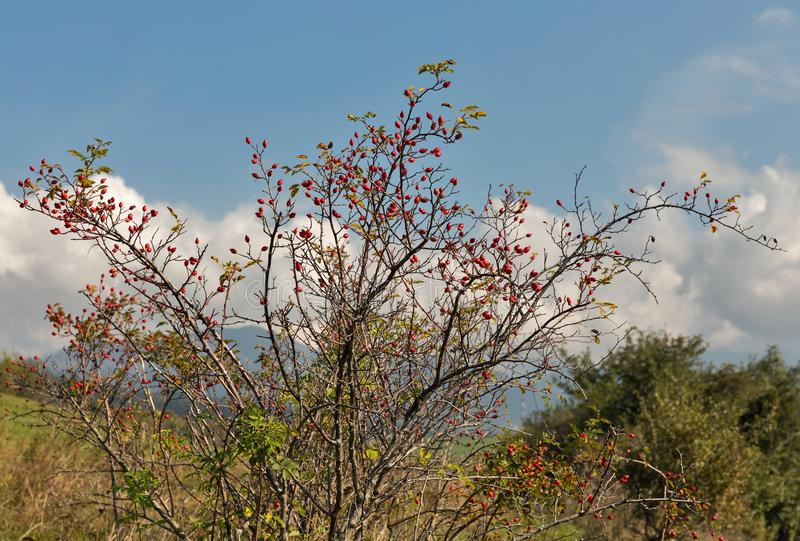 Hanche de Rose avec les baies mûres photo libre de droits
