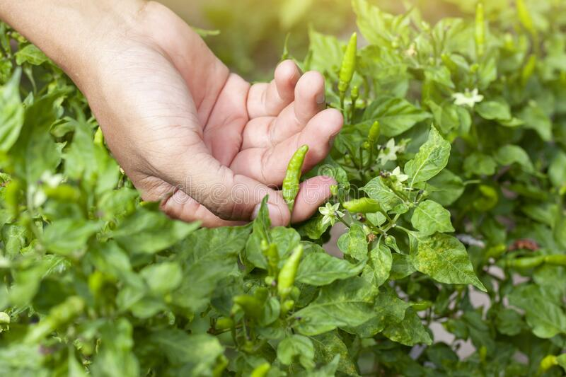 Hand of agriculturist are harvesting chili in the garden. Hand of agriculturist are harvesting chili on tree in the garden stock image