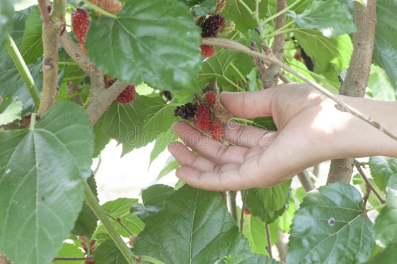 Hand of agriculturist picked mulberry fruit. royalty free stock images