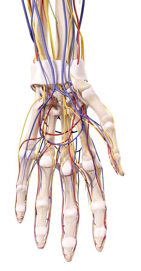 The hand anatomy stock illustration. Illustration of rendering ...