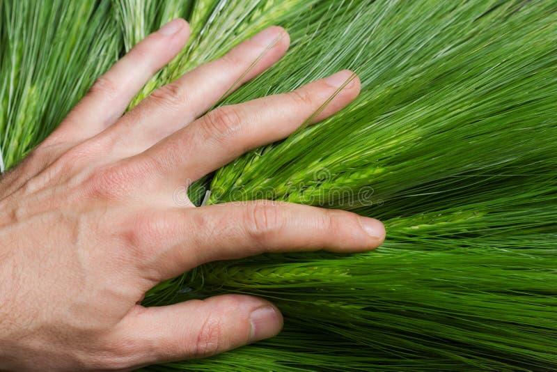Hand auf grünem Weizen stockbilder