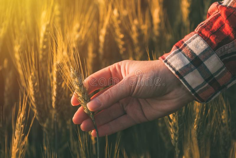 Hand av den kvinnliga agronomen, i att mogna vetefältet royaltyfria bilder