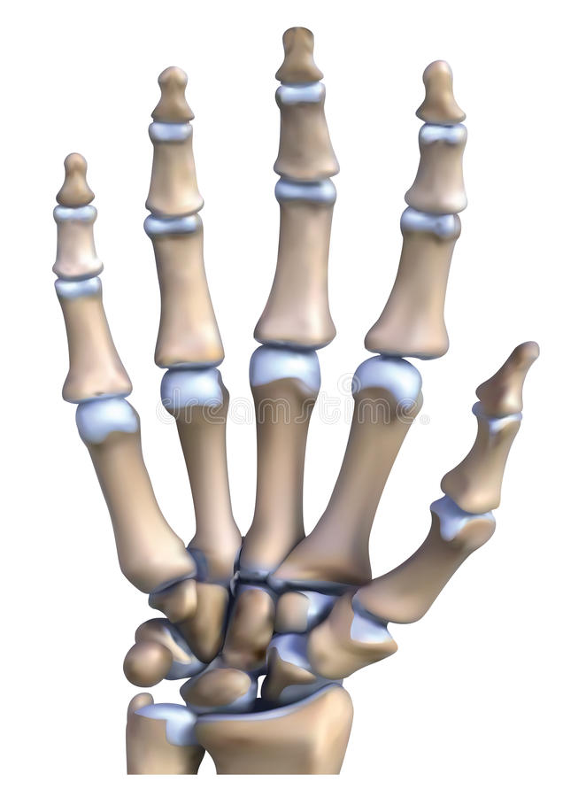 Hand Bone Anatomy Stock Illustration Illustration Of Illustration