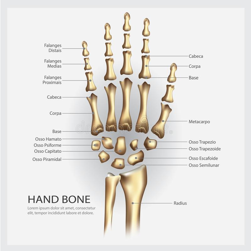 Hand Bone Anatomy With Detail Stock Vector - Illustration of clinic ...