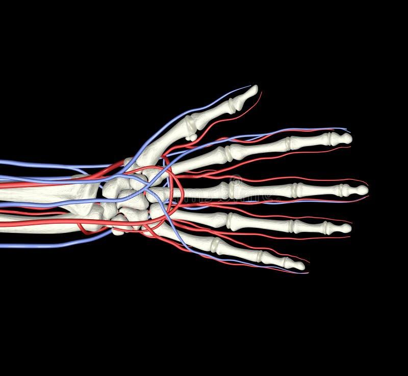 Download Hand Bones Arteries Veins stock illustration. Image of cardiology - 3039523