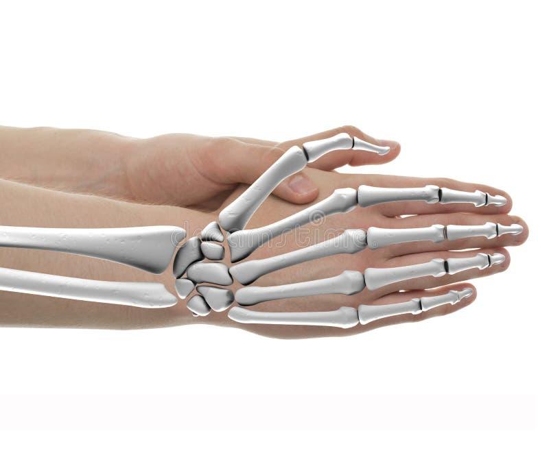Hand Bones Male Anatomy - Studio shot with 3D illustration isolated on white royalty free illustration