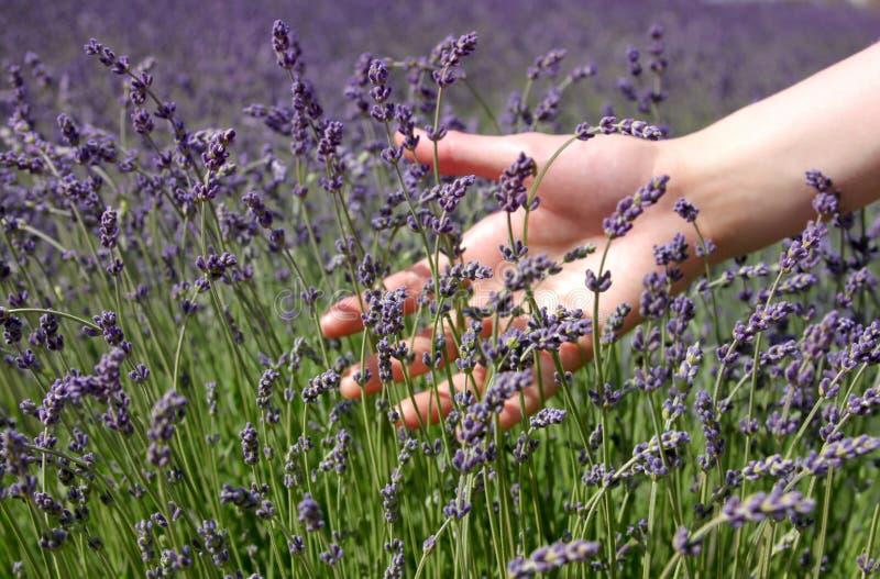 Download Hand Brushing Lavender Flowers Stock Photo - Image of botanical, blue: 24861334