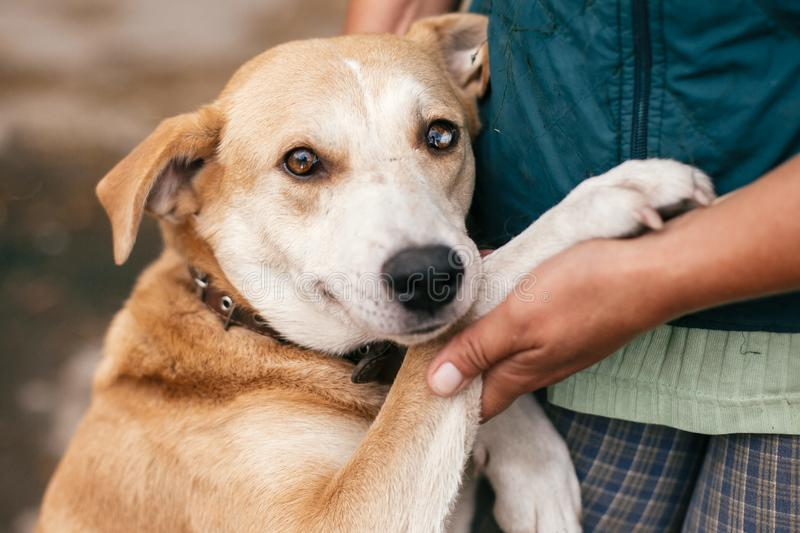 Hand caressing cute homeless dog with sweet looking eyes in summer park. Person hugging adorable yellow dog with funny cute royalty free stock image