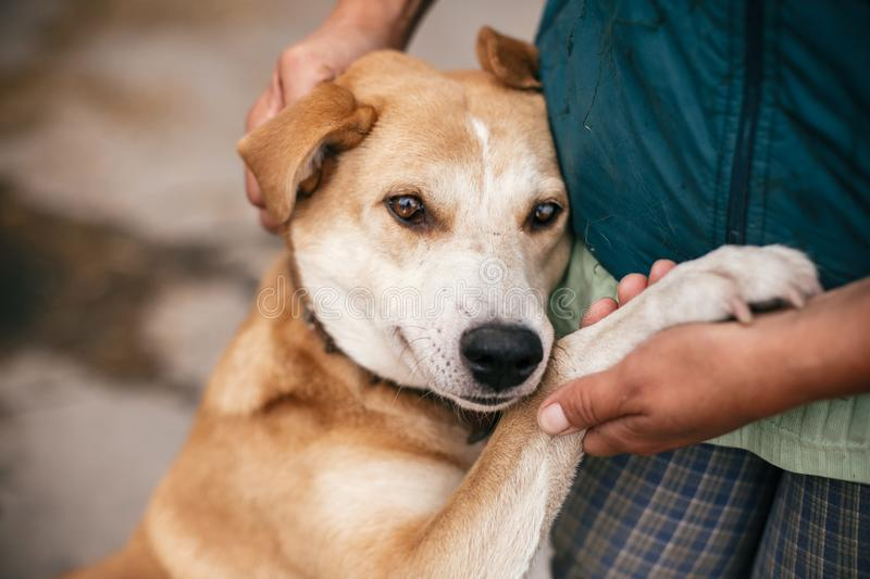 Hand caressing cute homeless dog with sweet looking eyes in summer park. Person hugging adorable yellow dog with funny cute. Emotions. Adoption concept royalty free stock image