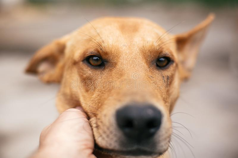Hand caressing cute homeless dog with sweet looking eyes in summer park. Person hugging adorable yellow dog with funny cute royalty free stock photos