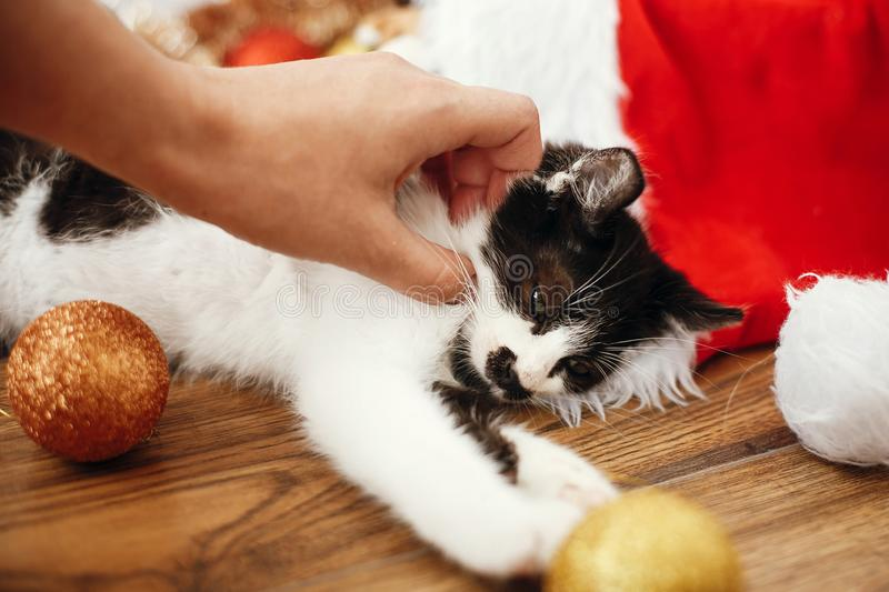 Hand caressing cute kitty at box with red and gold baubles, ornaments and santa hat under christmas tree in festive room. Merry C royalty free stock image