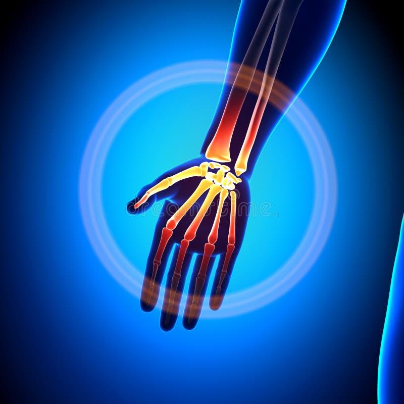 Hand/Carpals/Metacarpals/Phalanges - Anatomie-Knochen vektor abbildung